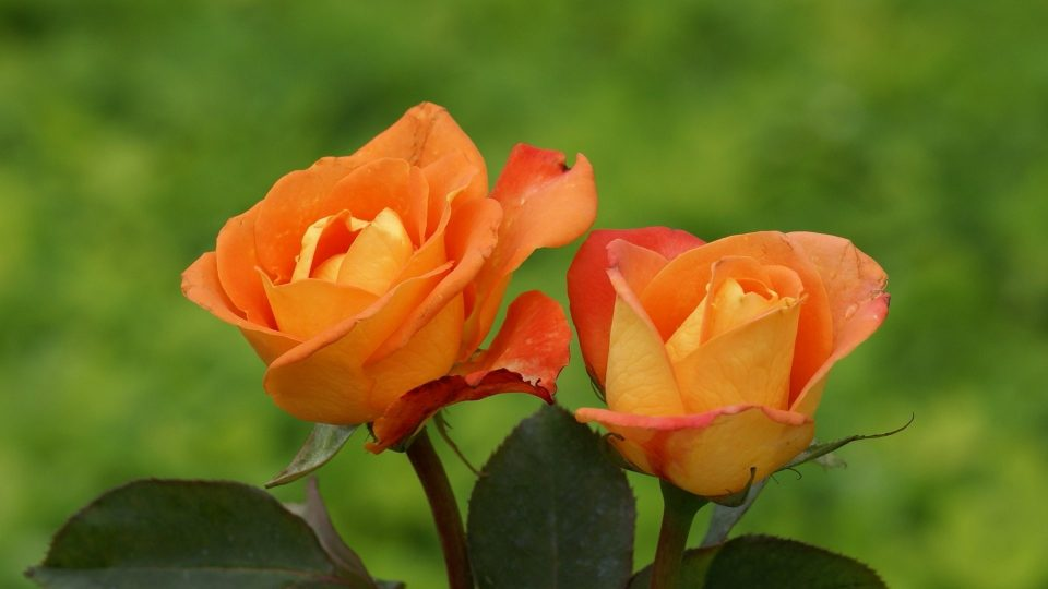 ORANGE ROSES Flowers Nature Wallpapers Pictures